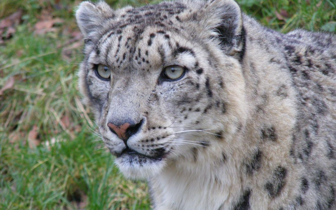 Endangered snow leopard poaching, conservation efforts continue