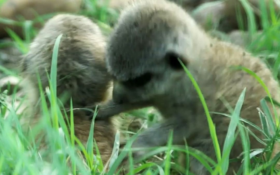 Meer-acle at the Zoo: Keepers Surprised by Underground Babies