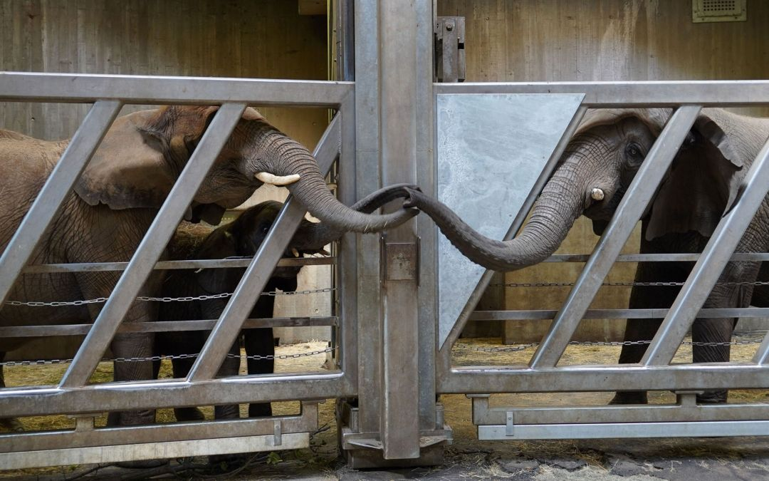 An Elephant Reunion: Touching Trunks Equals Happy Together