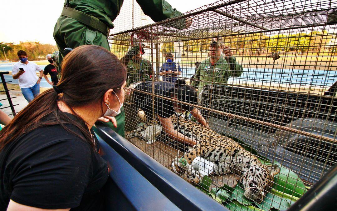 Big Cat Rescue: Jaguar Caught in Brazil Town