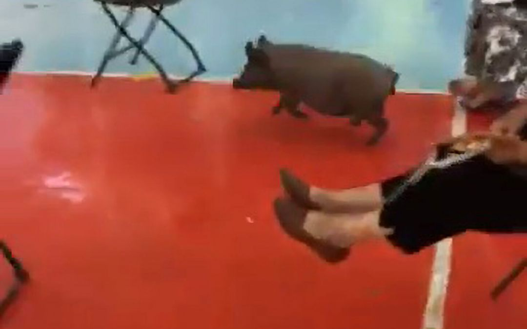 Mexican police and soldiers in hot pursuit of escaped piglet