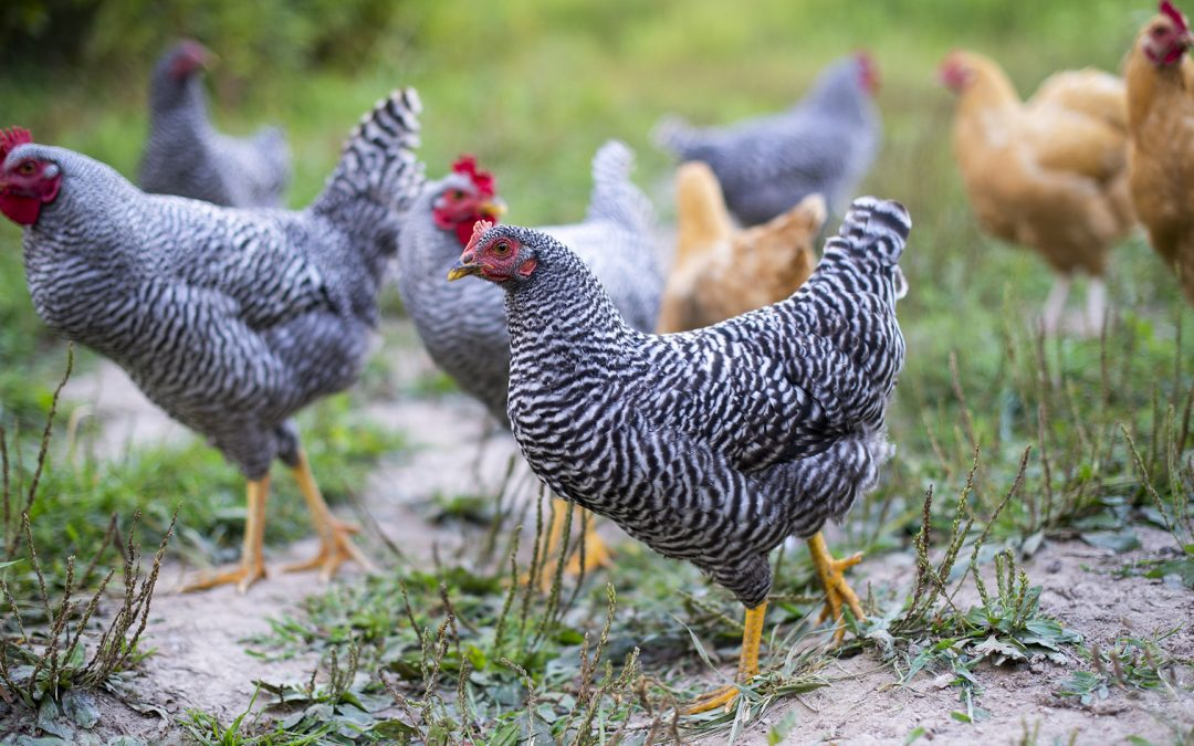 Year's First Bird Flu Death Reported In Indian Capital Delhi