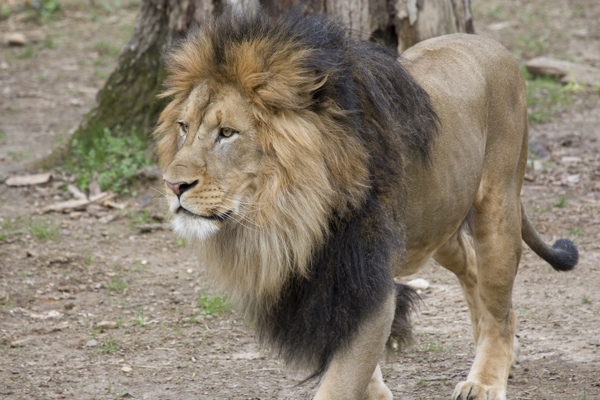 Adult male African lion Luke at Smithsonian's National Zoo. Six African lions, a Sumatran tiger and two Amur tigers are being treated for COVID-19 at the Smithsonian National Zoo. (Smithsonian's National Zoo & Conservation Biology Institute/Zenger News).
