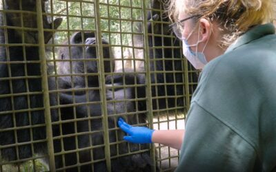 VIDEO: Kong Flu: Gorillas And Orangutans Get COVID Vax
